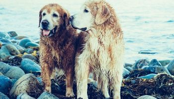 two wet golden retrievers panting after having a swim on the beach