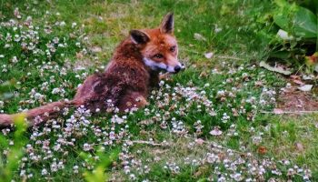 a fox lying down in a flower patch