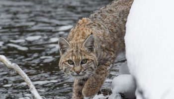 a bobcat in the winter near a river