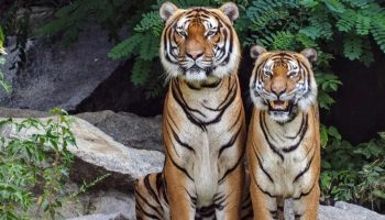 two tigers next to each other