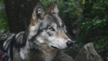 a gray wolf in the woods