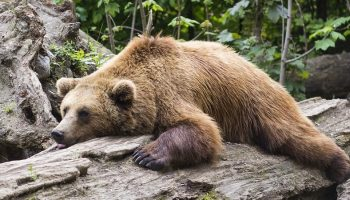 a brown bear lying down on a tree trunk
