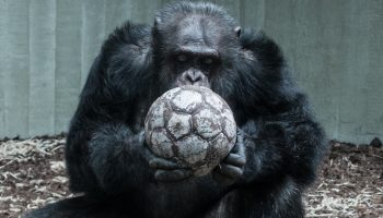 a gorilla in a cage holding a football