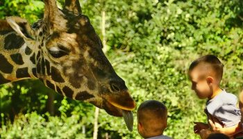 children at a zoo about to pet a giraffe