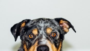 dog's face in front of a white background