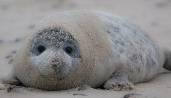 a sandy, gray seal on the beach