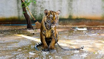 a sad tiger chained outside