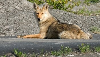 a coyote lying on pavement