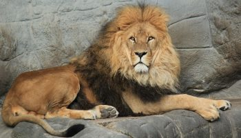 lion in a zoo sitting on stoney surface