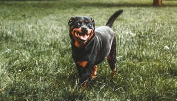 a rottweiler walking in the grass