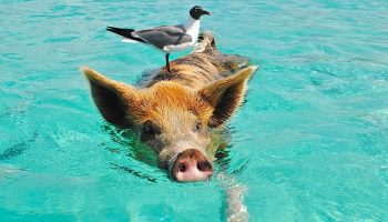 pig swimming with a seagull standing it