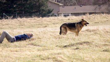 a German Shepard near a man lying down in the field