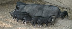 piglets drinking milk from their mother sow