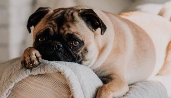 pug lying on a white sofa