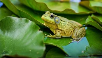 a green bullfrog on some leaves