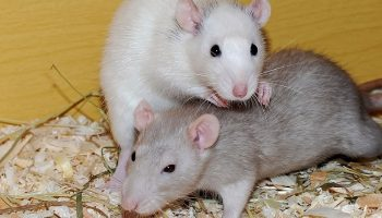 two rats in an enclosure