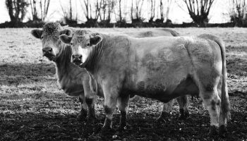 black and white image of two cows on a field