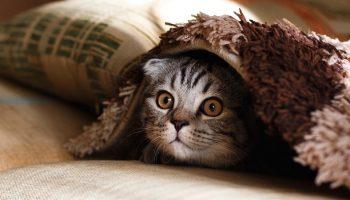 a cat lying under a carpet