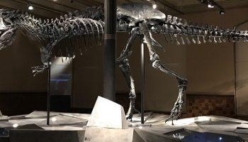 skeleton of an extinct dinosaur in a museum