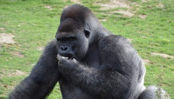 a gorilla eating some fruit