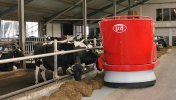 dairy cows in a farm eating animal feed