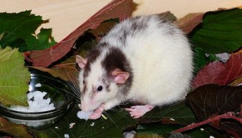 rat eating some rat food and standing on leaves
