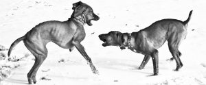 two dogs fighting in the snow