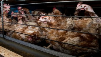 chickens in confined cages