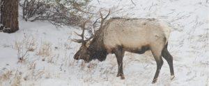 elk in snowy woods
