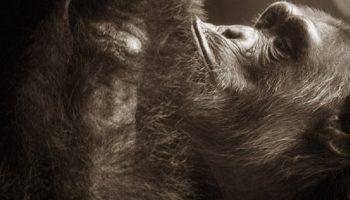 chimpanzee looking at itself