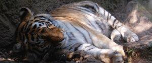 tiger sleeping in a zoo