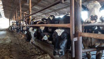 a dairy factory farm
