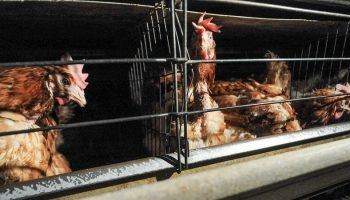 layer hens in a cramped factory farm cage