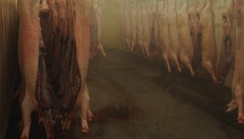 slaughtered pigs hung upside down
