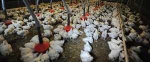 filthy and crowded poultry farm with poultry eating