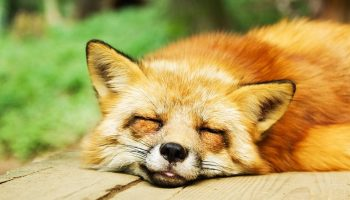 a fox sleeping on a wooden board