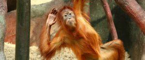 an orangutan in a zoo