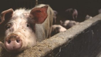 a sad pig sticking its stout out over the concrete fence in a factory farm
