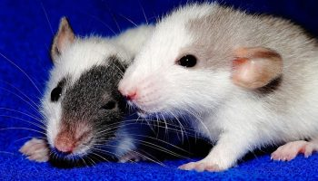 two rats on a blue blanket