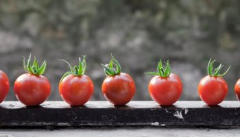 tomatoes lined up on a board