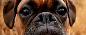 closeup of a pug