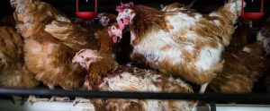 meat poultry confined in small feeding spaces