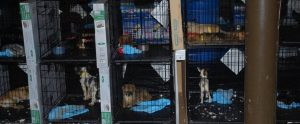 dogs in cramped cages in a dirty puppy mill