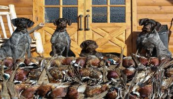 hundreds of dead doves in front of four hunting dogs