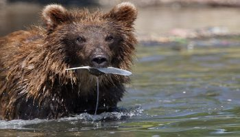 brown bear in a river holding a fish in his mouth