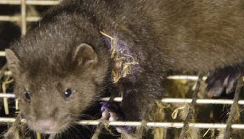 mink in an intensive fur farm cage