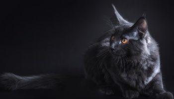 dark grey cat with a dark background