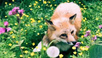 fox in a flower patch