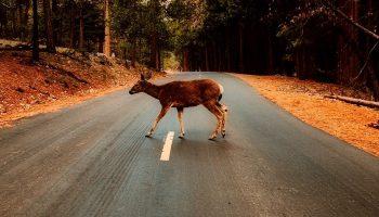 deer walking over the road