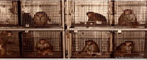 research monkeys locked in cages